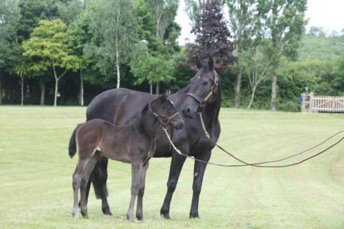 Elevage chevaux Normandie